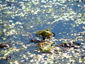 a frog in the wetlands waters