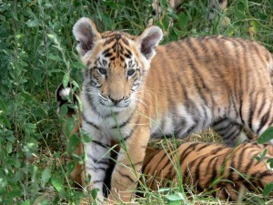 Tiger cubs in the wild