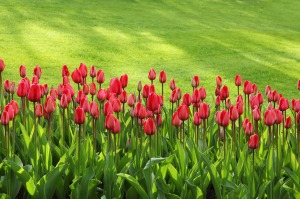 a bed of red tulips with a background of the greenest spring grass