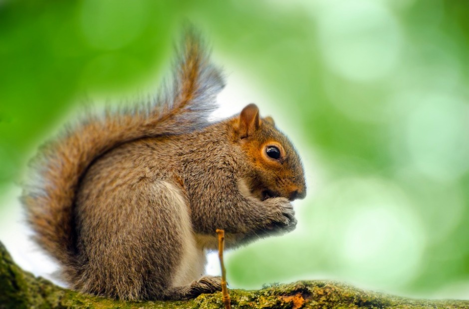Photo of a Eastern gray squirrel