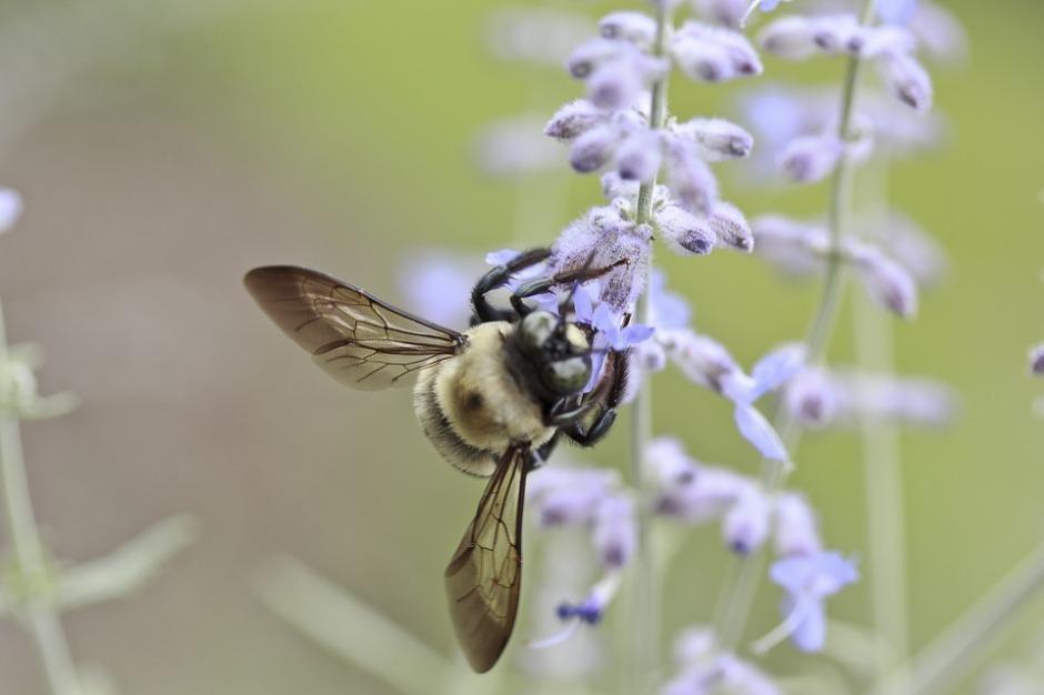 Honeybee nectaring on a wildflower