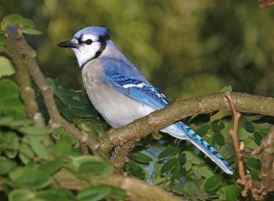 The blue jay is native to North America.