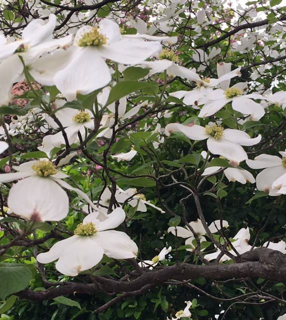 The dogwood native to Virginia. Both the state tree and state flowers of the Commonwealth of Virginia