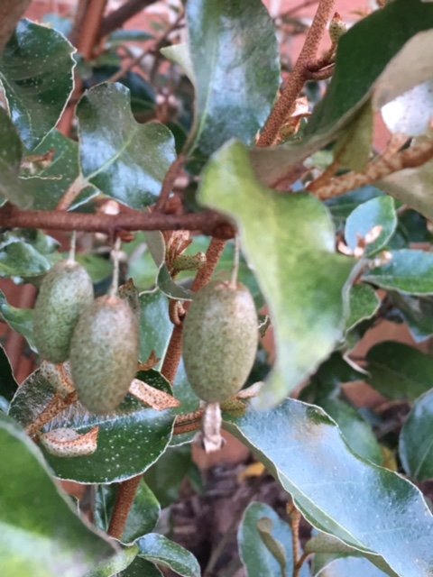 First fruits on a Russian olive