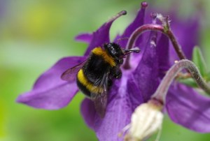 Bumble bee nectaring on a columbine
