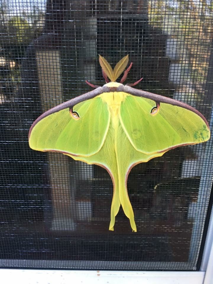 Luna Moth photographed in Linwood, WV late April