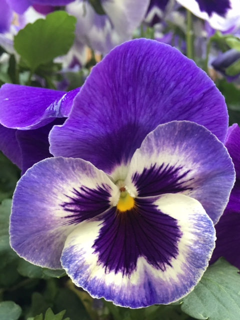 purple and white pansy bloom