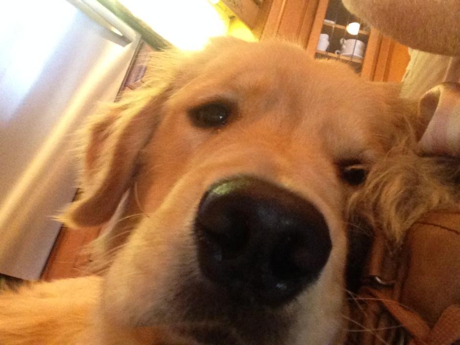Brodie the Golden Retriever