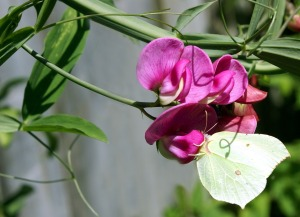 Sweet peas and tendrils