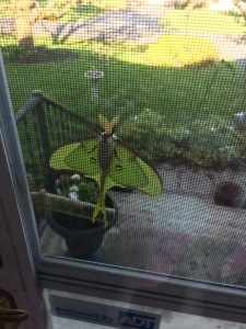 Luna Moth photographed in Linwood, WV late April