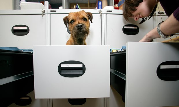 A small dog in a filing cabinet drawer waiting the office work