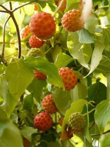 Asian Kousa dogwood berries