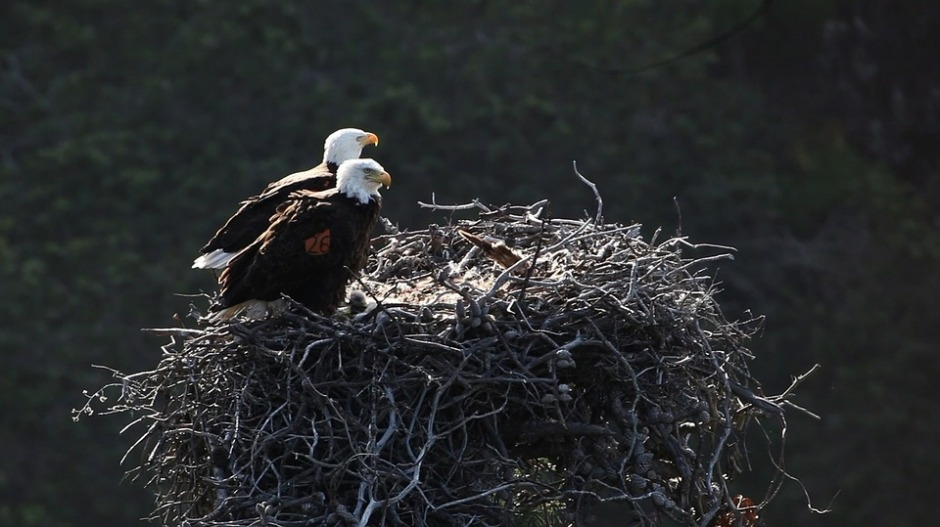 Pair of nesting Bald Eagles