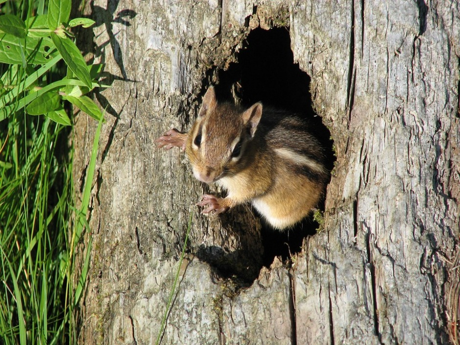 chipmunk peaking out of a tree hole