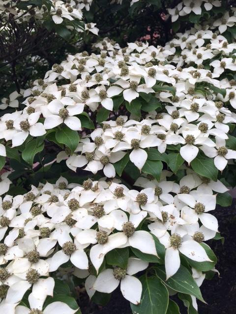 Kousa dogwood flowers