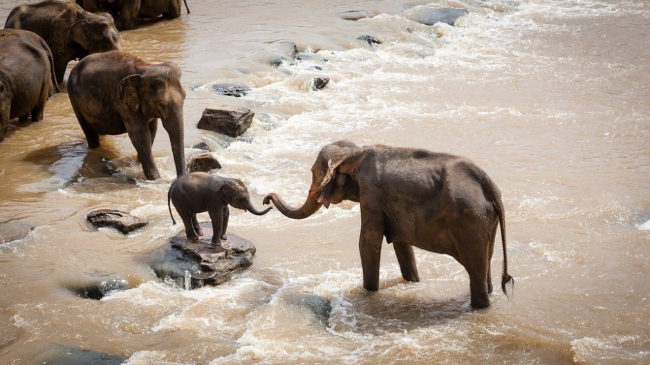 elephants reaching out their trunks to each other