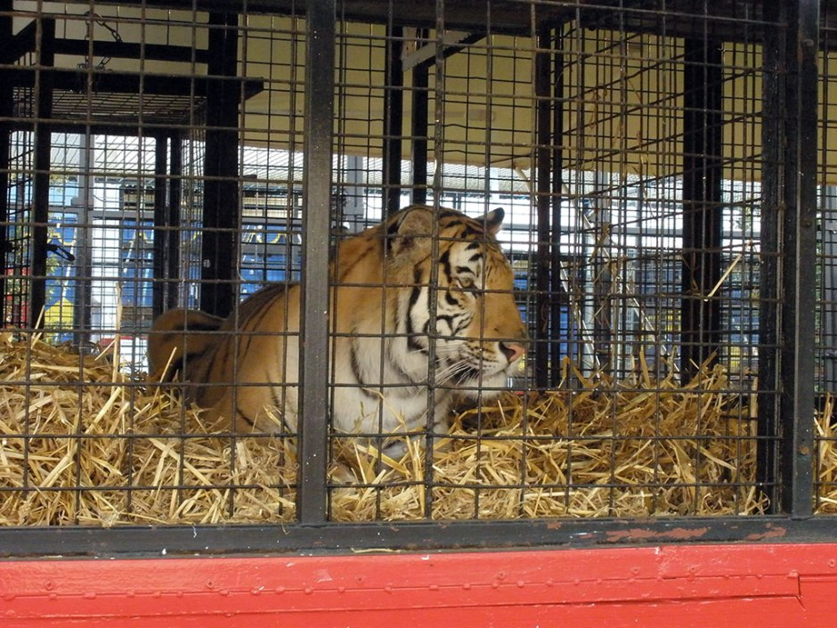 A caged tiger in the circus environment