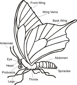 Illustration of a butterflies parts
