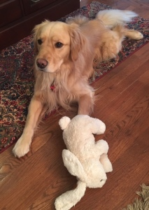 Golden Retriever Brodie with his white bunny toy