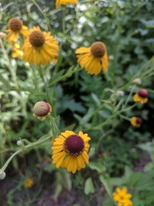 Golden petals and red head Common sneezeweed