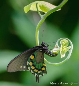 https://the-natural-web.org/2012/06/29/pipevine-swallowtail-butterflies-and-their-host-dutchmans-pipevine/