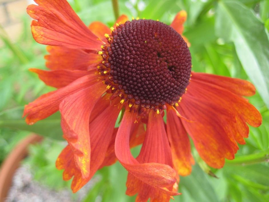 Red Common sneezeweed