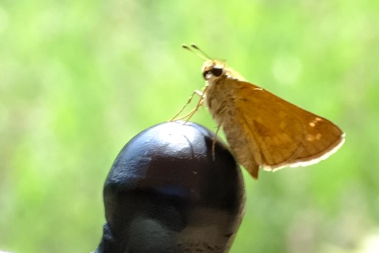 Delaware Skipper Butterfly resting in the sun.