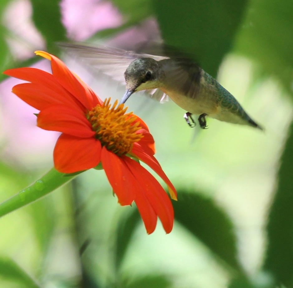le hummingbird nectaring on Tithonia