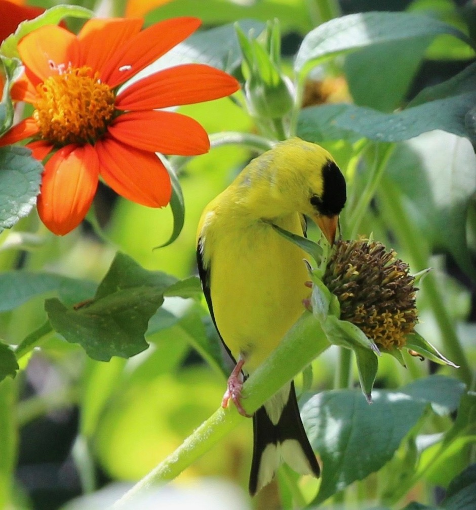 Male Goldfinch eating seeds from a Sithonia flower head