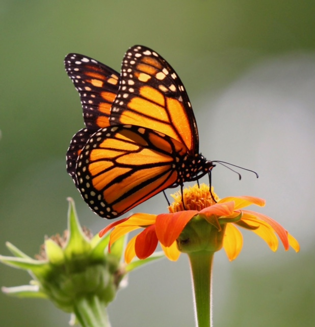 Male monarch butterfly nectaring on a Tithonia flower