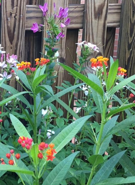 Milkweed with cleome in the garden