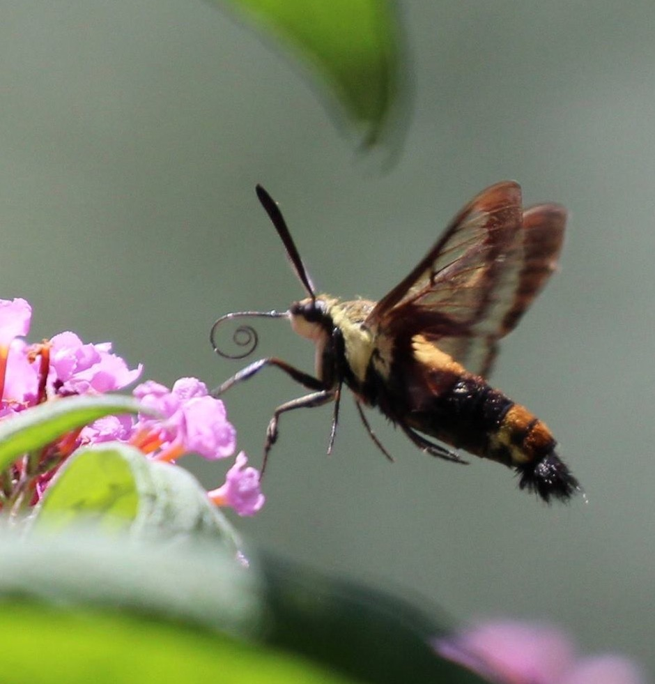 Upclose photo of a Clearwing Hummingbird Moth