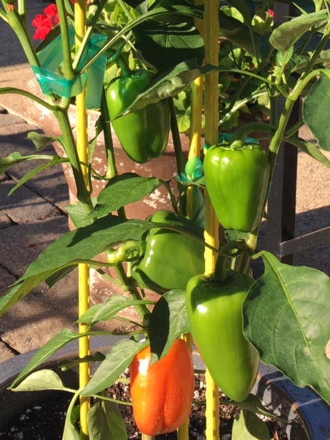 Growing peppers in a container