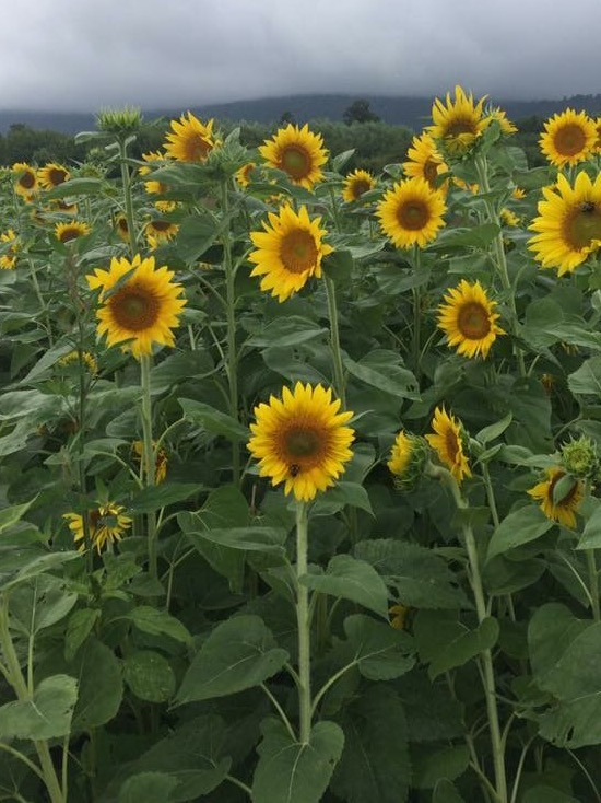 Sunflower field in Virginia
