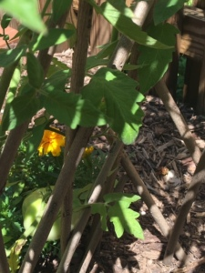Through the trellis the sunshine falls on both marigolds and growing tomatoes