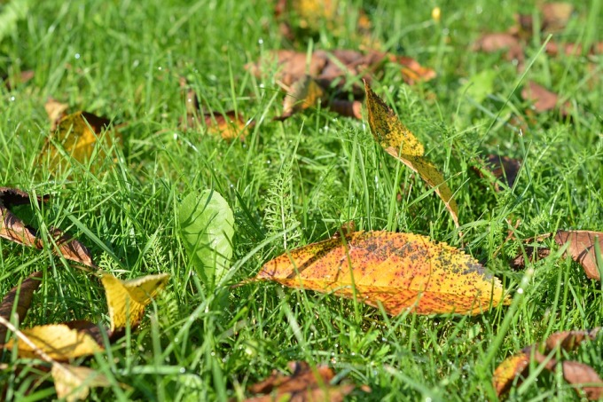 early autumn leaves on the green grass