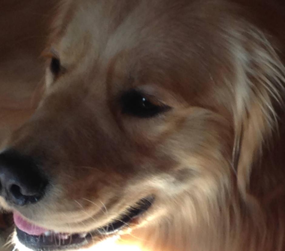 A photo of Golden Retriever Brodie
