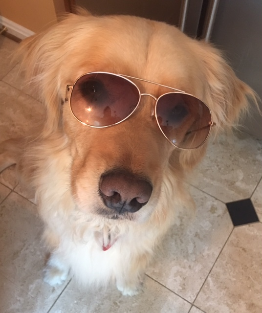 "Golden retriever ""Brodie"" wearing sunglasses"