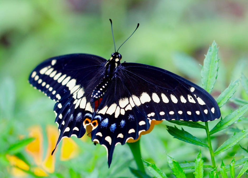 Newly enclosed Male Black Swallowtail spreading his wings