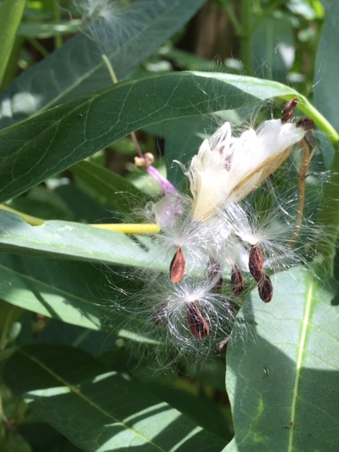 Milkweed pod that has burst forth
