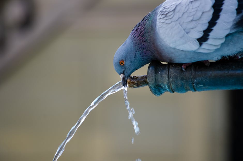 A pigeon in a park drinking water from a fountain stream