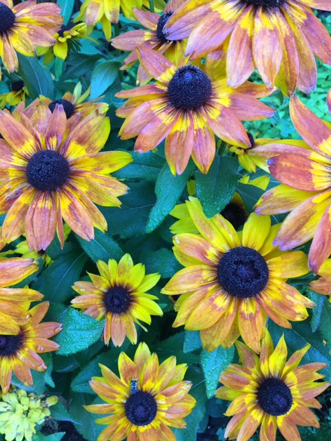 summer yellow and pink sunflowers