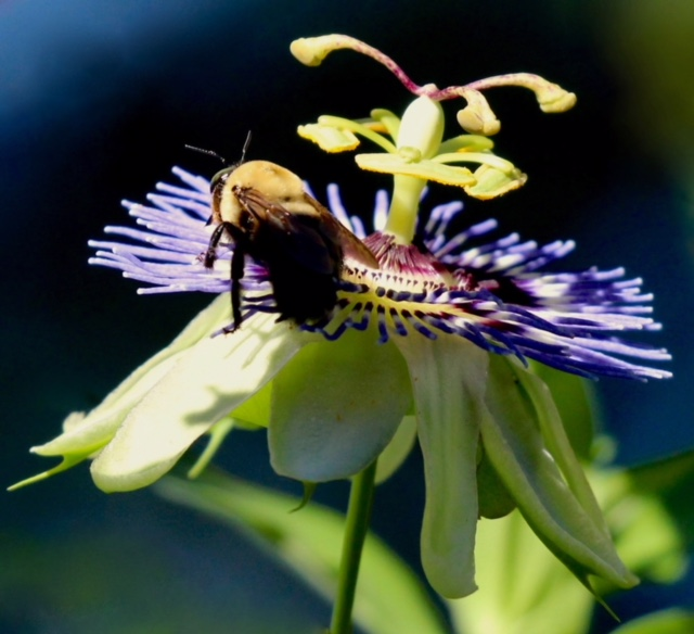 Bumble bee nectaring on a passion-flower in early fall