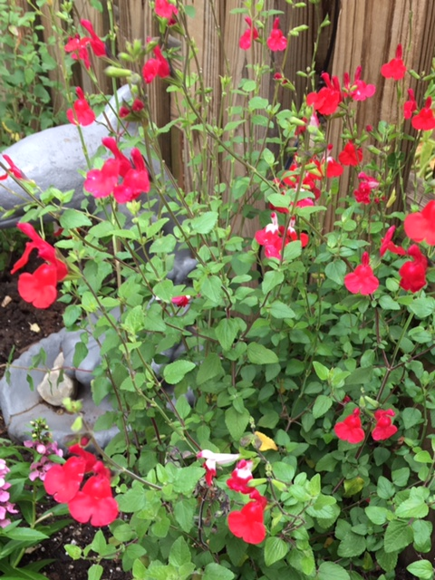 Salvia Hot Lips Flowers blooming in early fall