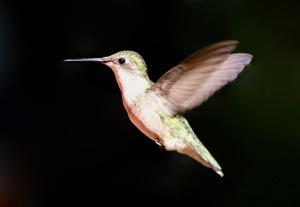 Inflight male hummingbird