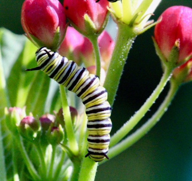 Caterpillar on milkweed to morph to Monarch Butterfly