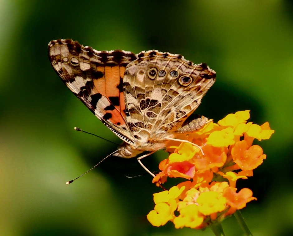 Painted lady butterfly on tropical milkweed