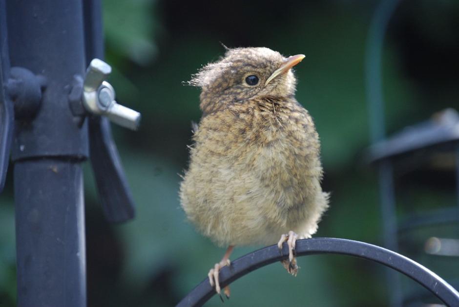A robin fledgling