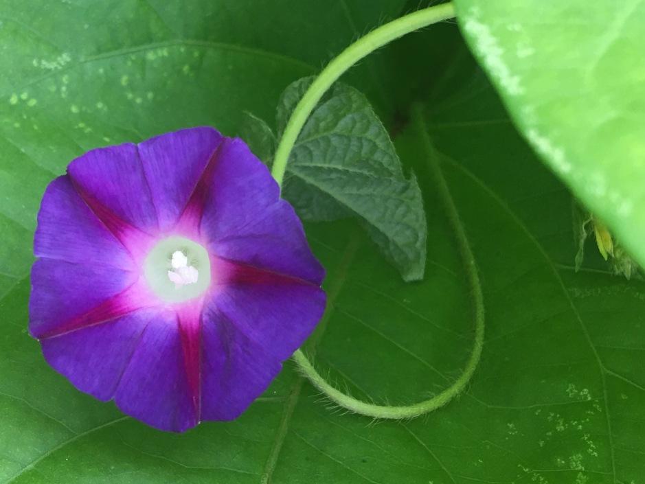 A tiny morning-glory purple and blue blossom