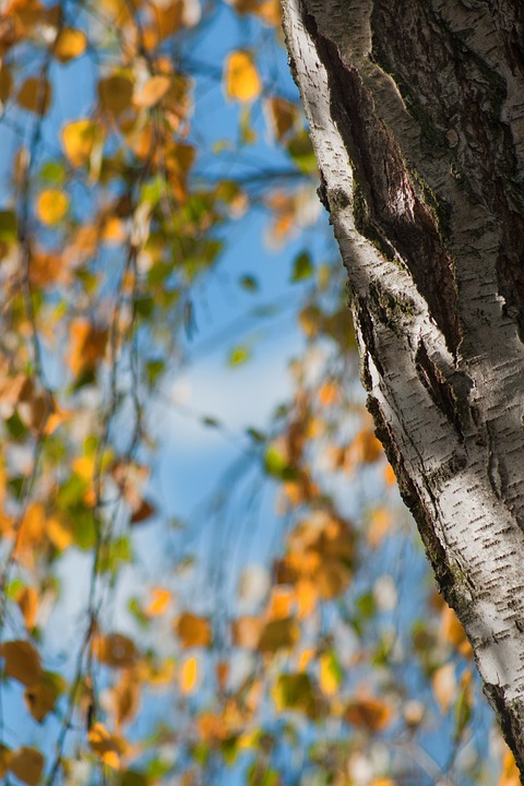 Birch tree with peeling bark in the autumn